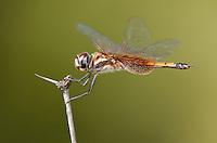 388590006 a wild female striped saddlebags dragonfly tramea calverti perches on a dead flower stem at southeast regional park austin travis county texas