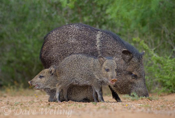 650520317 wild javelinas or collared peccaries dicolytes tajacu forage near a waterhole on santa clara ranch in starr county rio grande valley texas united states