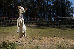 Domestic Goat (Capra hircus) in unsecured pen, central California