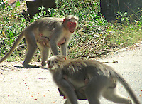 Female monkeys face off with kids.