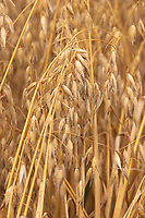 Oats ready for harvesting<br /> &copy;Tim Scrivener Photographer 07850 303986<br />      ....Covering Agriculture In The UK....