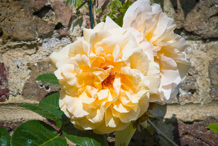 Rosa 'Buff Beauty' rose yellow cream, disease resistant roses, closeup against stone wall