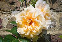 Rosa 'Buff Beauty' rose yellow cream, disease resistant roses, closeup against stone wall