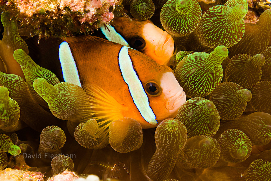 Clark's anemonefish, Amphiprion clarkii, in sea anemone, Entacmaea quadricolor, Komodo, Indonesia .