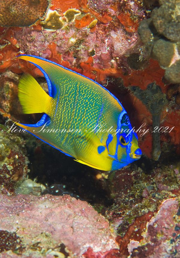 Queen Angelfish<br /> Holacanthus ciliarus<br /> Sister's Cave Grenadines