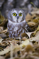 Northern Saw-whet Owl standing on some dried leaves