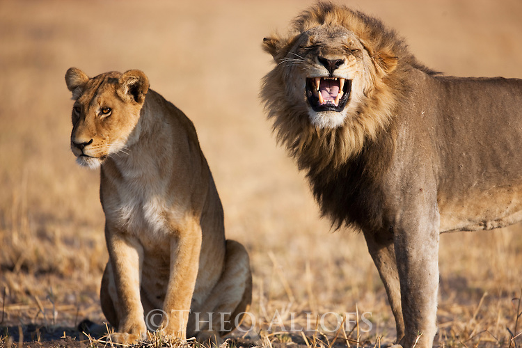 Botswana, Chobe National Park, Savuti, lions (Panthera leo) mating pair, male showing flemen behaviour