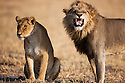 Botswana, Chobe National Park, Savuti, lions (Panthera leo) mating pair, male showing flemen behaviour