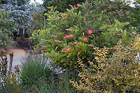 Grevillea 'Superb' flowering shrub in California summer-dry garden with Australian plants; design Jo O'Connell