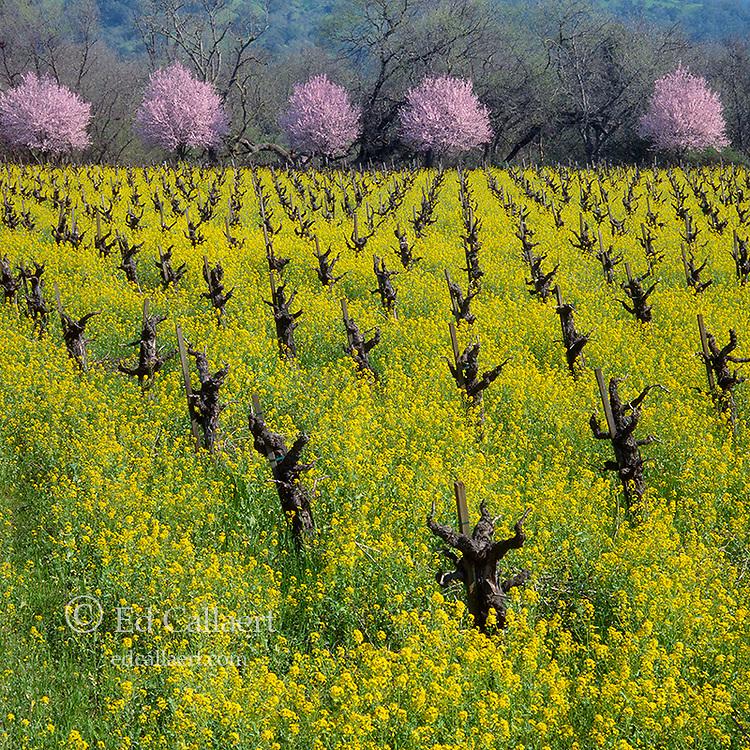 Mustard, Plum Blossoms, Napa Valley California
