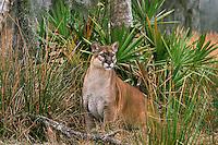 Florida panther (Felis concolor coryi), Florida, endangered species.