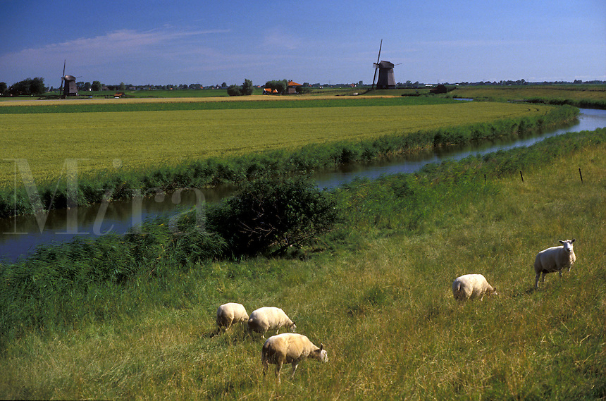 AJ2175, sheep, canal, Netherlands, Europe, Sheep grazing on the lush green pasture along dike near canal and windmills in Schermerhorn.