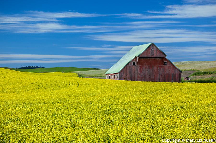 Latah County, Palouse Region, Idaho: Weathered red  barn amid yellow canola fileds