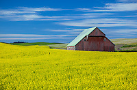 Latah County, Palouse Region, Idaho: Weathered red  barn amid yellow canola fileds