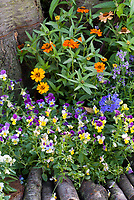 Zinnia 'Profusion Orange' and violas