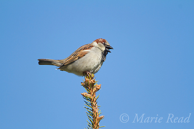 House Sparrow (Passer domesticus) male perched atop a conifer (spruce), calling, Interlaken, New York, USA