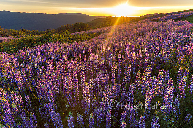 Sunset, Lupin, Childs Hill Prairie, Redwood National Park, California