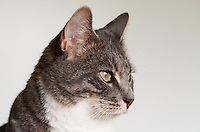 Bertie, a blue tabby and white shorthair cat, looking pensive in front of a white background.