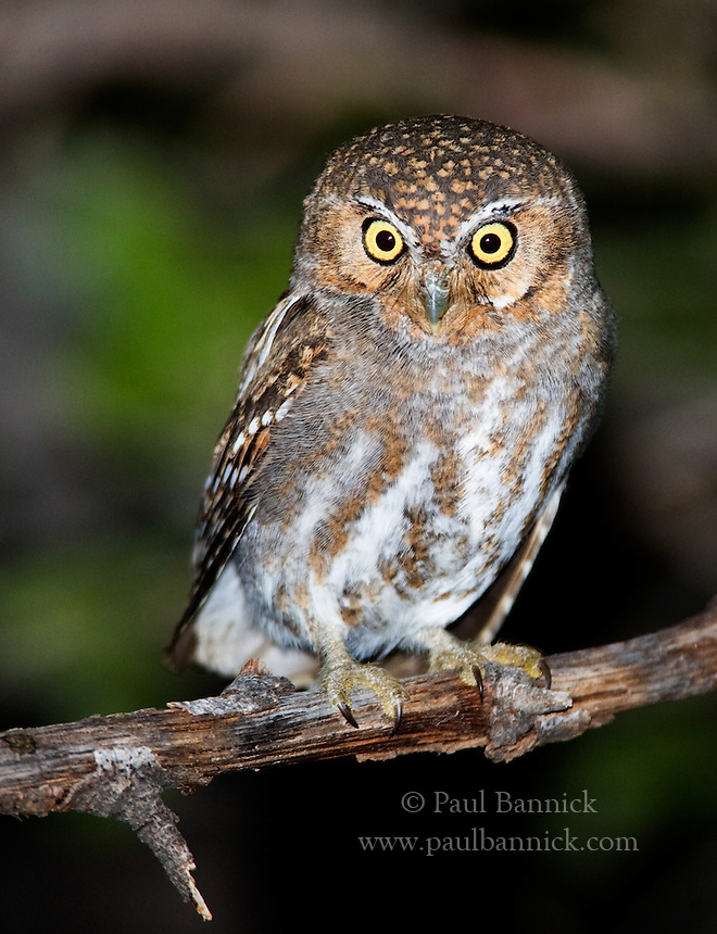 An Elf Owl, Micrathene whitneyi,  moves from perch to perch in search of prey.