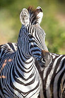 Zebra Portrait, the Timbavati, South Africa