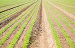 Young carrot seedlings growing in sandy soil Shottisham, Suffolk, England