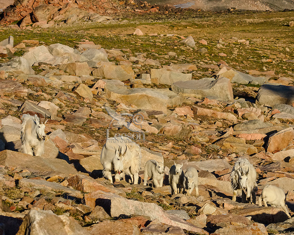 Small group of Mountain Goats (Oreamnos americanus) nannies with young kids.  Beartooth Mountains on the Wyoming-Montana border.  July.