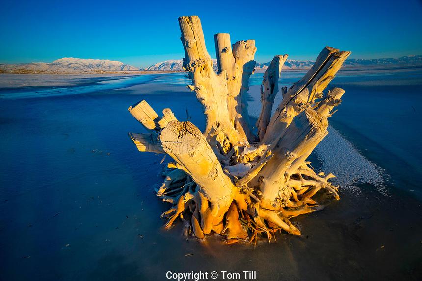 Snag on Great Salt Shore, Antelope Island National Park, Utah  Wasatch Mountains beyond