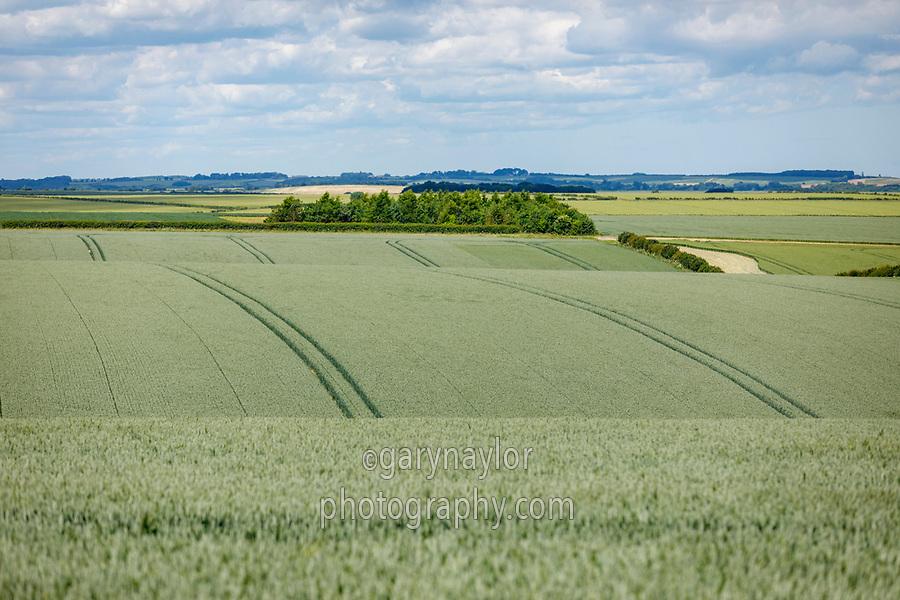 Winter Wheat in ear - Lincolnshire, June