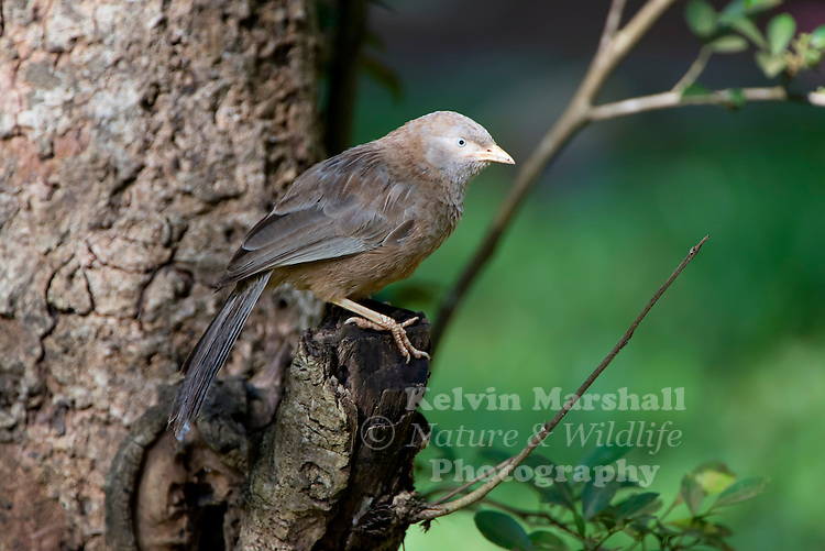 Yellow-billed babbler or white-headed babbler (Turdoides affinis) is a member of the Leiothrichidae family endemic to southern India and Sri Lanka. The yellow-billed babbler is a common resident breeding bird in Sri Lanka and southern India. Habarana, Anuradhapura District  - Sri Lanka.
