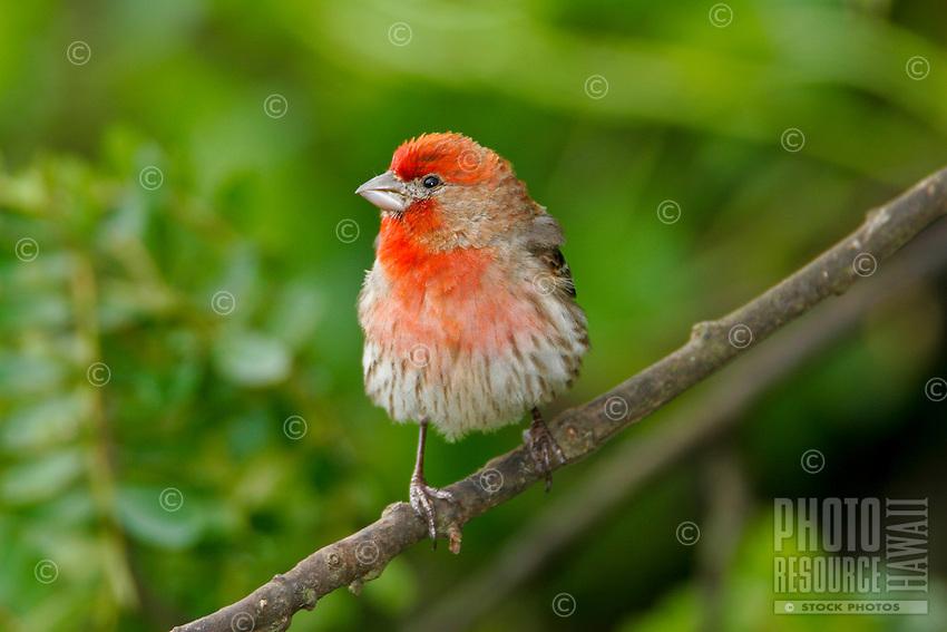House Finch, (Carpodacus mexicanus) An introduced finch found on all of the main Hawaiian Islands