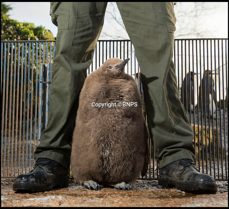 BNPS.co.uk (01202 558833)<br /> Pic: PhilYeomans/BNPS<br /> <br /> Who ate all the frys...<br /> <br /> Britains only King penguin chick has undergone a remarkable transformation in just four months - ballooning from half a pound to a whopping stone and a half.<br /> <br /> The plummeting temperatures may be causing misery for people around Britain - but this supersized penguin chick is more than content in the big freeze thanks to its massive winter coat.<br /> <br /> The big ball of fluff is the first King penguin chick to be born in the UK in five years, and has gone from just a few inches tall to a staggering two and a half feet in a matter of months.<br /> <br /> It was weak, wrinkly and grey, unable to even stand on its own two feet when it was born at Birdland in Bourton on the Water, Glos, last September.<br /> <br /> But despite its growth spurt the huge chick still has to avoid the water untill its adult plumage come's through.