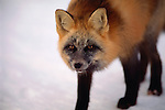 A cross fox hunts the tidal flats of Hudson Bay in Manitoba, Canada.