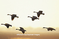 00748-03207 Canada Geese (Branta canadensis) in flight at sunset, Horicon NWR   WI