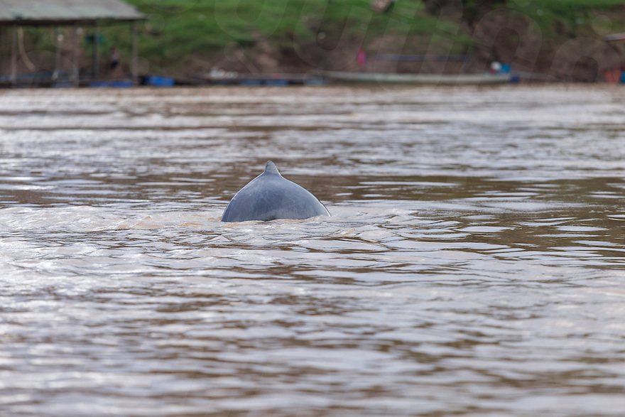 August 24, 2015 - Preah Rumkel, Stung Treng (Cambodia). An Irrawaddy dolphin emerges to breath in the water of the Anlung Cheauteal Pool, on the border between Laos and Cambodia, just a couple of kilometers away from the Don Sahong dam's construction site. © Thomas Cristofoletti / Ruom