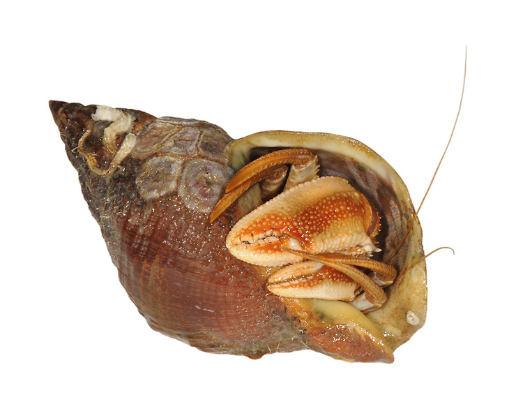 hermit crab<br /> Eupagurus bernhardus