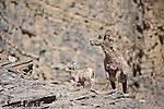 Bighorn sheep ewe and newborn lamb on rocks. Yellowstone National Park, Montana.