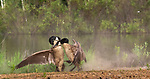 Canada geese fighting in northern Wisconsin.