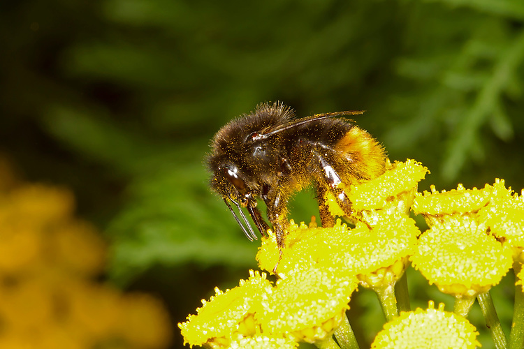 Red-tailed Bumblebee - Bombus lapidarius - worker on Ragwort.