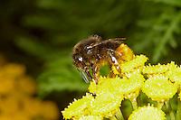 Red-tailed Bumblebee - Bombus lapidarius - worker on Ragwort.