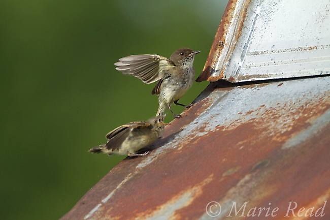 Eastern Phoebe (Sayornis phoebe) fledgling begging from its parent, New York, USA