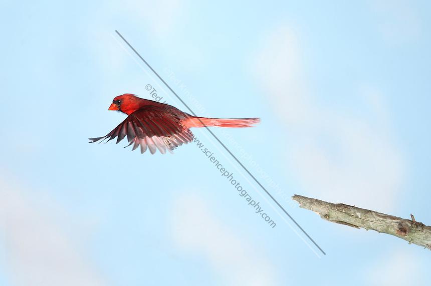 Northern cardinal male (Cardinalis cardinalis). This bird war captured in flight by a high speed flash.