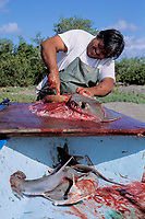 fisherman butchering stingray at local Mexican fishery, Bay of Lapaz, Baja, Mexico, Pacific Ocean