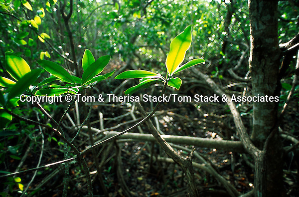 Red Mangrove forest interior