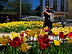 Tulips in bloom on the Capitol Square in Madison, Wisconsin.