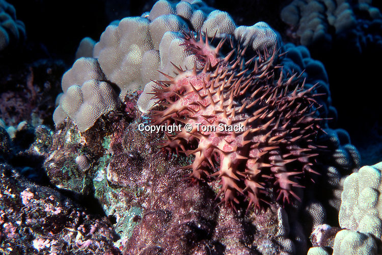 Crown of Thorns Starfish eating coral