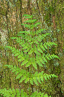 Lady Fern at Twin Falls, Ollalie Sate Park, Washington