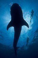 RX3149-D. Whale Shark (Rhincodon typus), view from underneath the largest fish in the sea, found around the world in tropical seas, feeds primarily on tiny plankton. Two people swim alongside the 25 foot gentle giant. Gulf of Mexico, Mexico, Caribbean Sea.<br /> Photo Copyright &copy; Brandon Cole. All rights reserved worldwide.  www.brandoncole.com