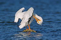 American White Pelican, Pelecanus erythrorhynchos, adult preening, Rockport, Texas, USA