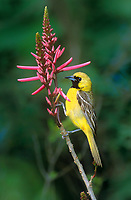 561880015 a wild male hooded oriole icterus cucullatus perches on a flower stalk on south padre island texas