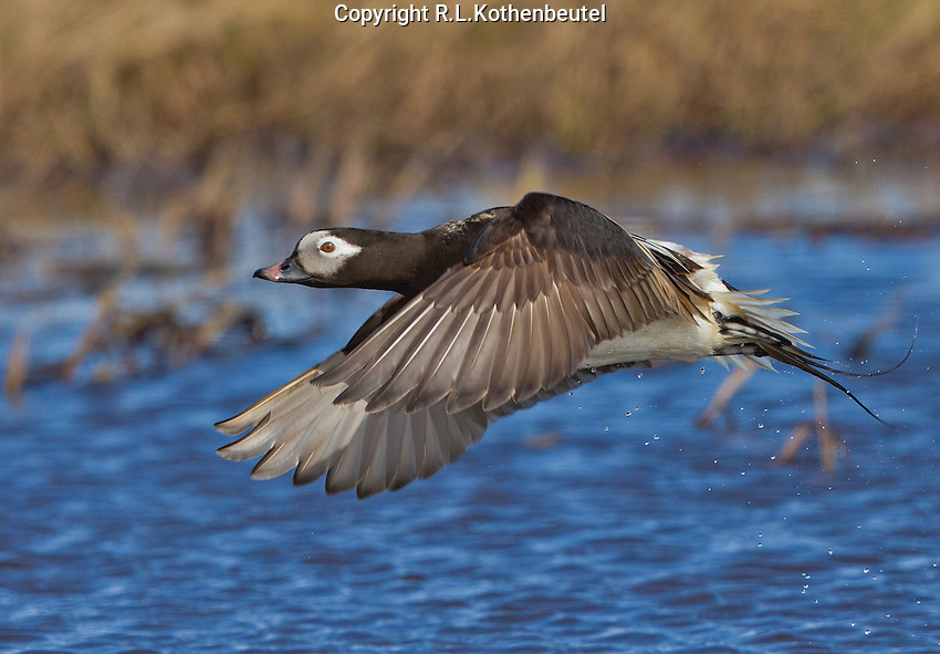Long-tailed duck drake in summer plumage flying over a pond in the Alaskan tundra.<br /> Barrow, Alaska<br /> 6/22/2012